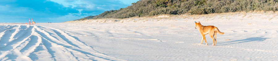 Dingo on beach, Fraser Island