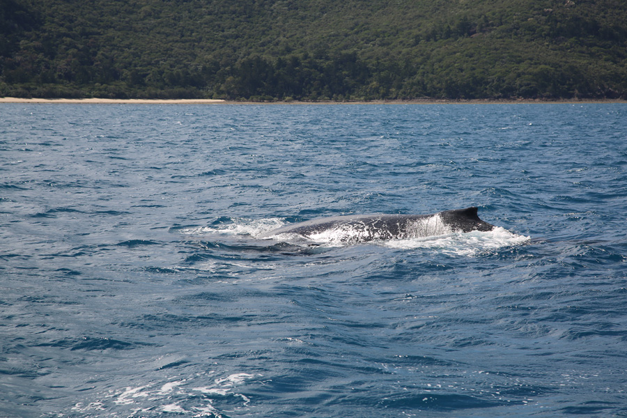 Whales in the Whitsundays