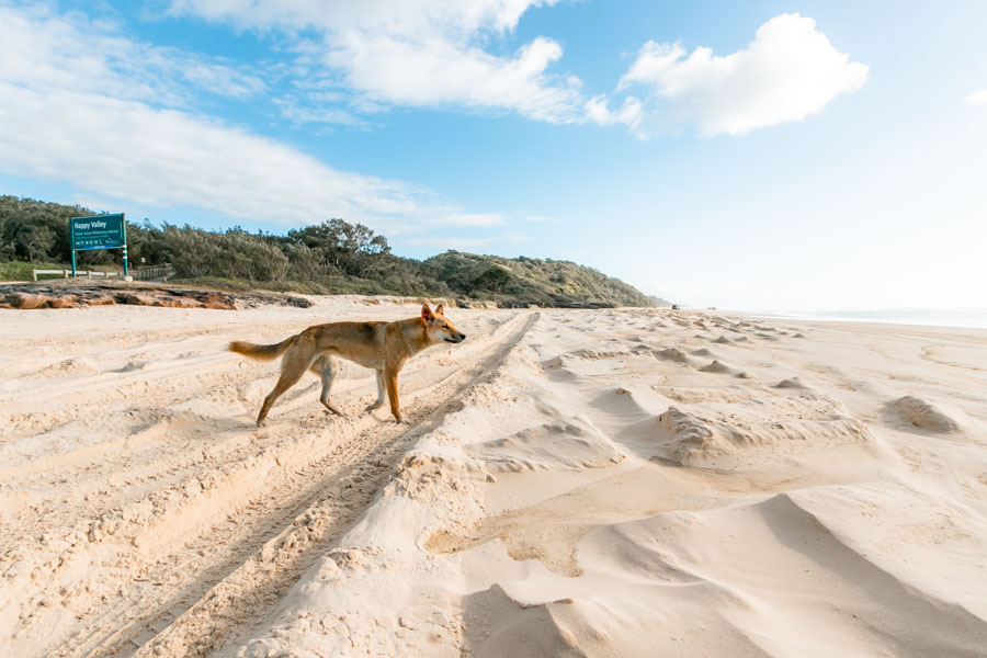fraser island, dingo, population, what to do
