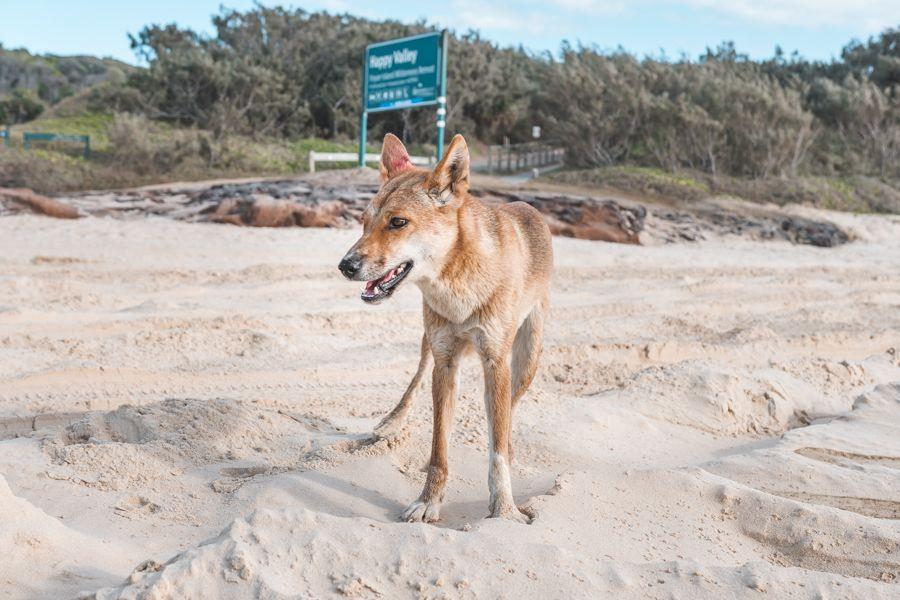 Dingos protected, Fraser Island