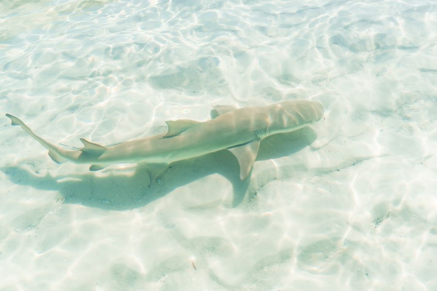 Baby lemon shark