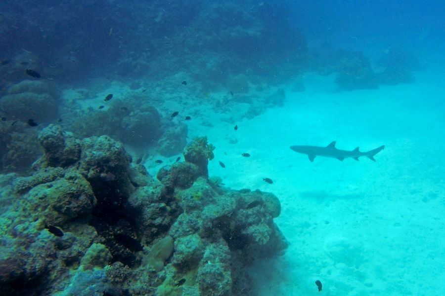 Black Tip Reef Shark Whitsundays, queensland australia