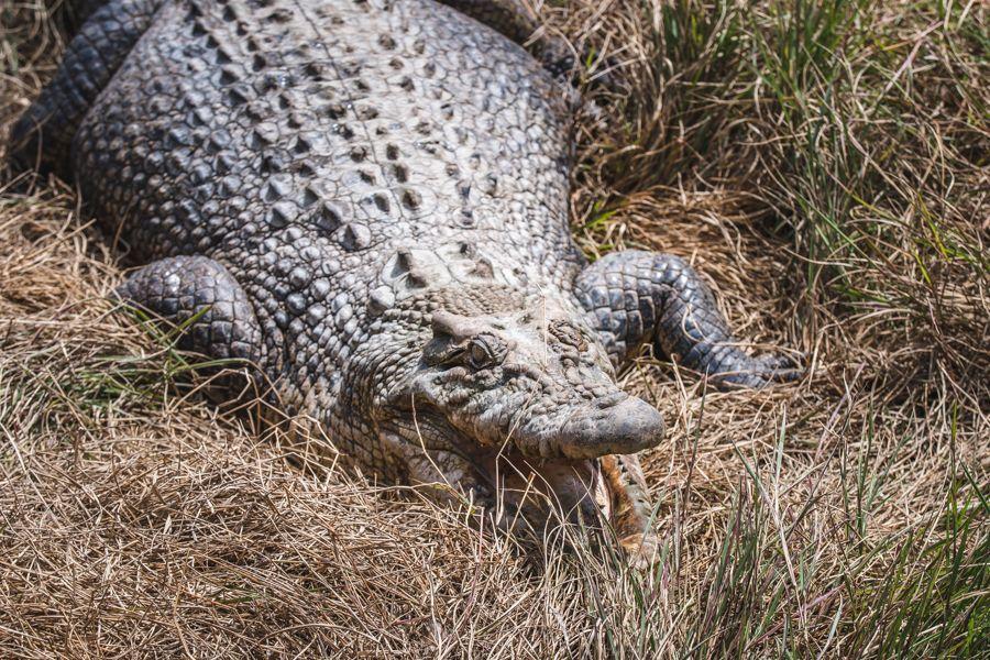 Saltwater crocs