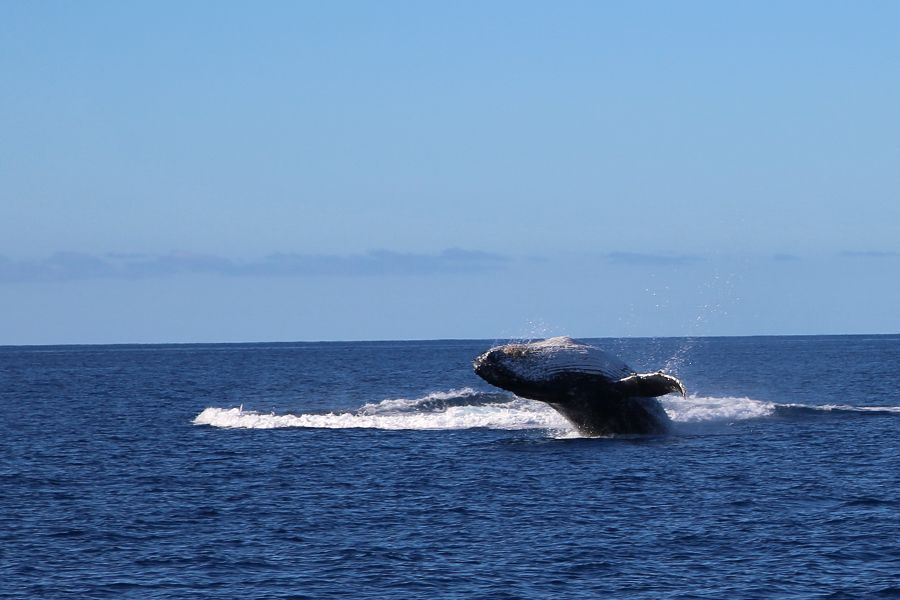 whale breaching, queensland whitsundays