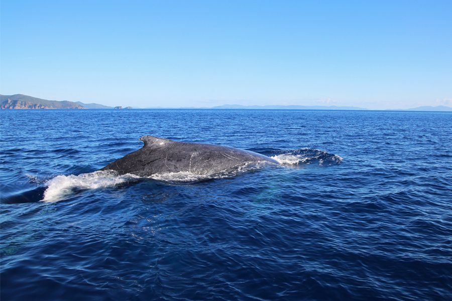 whale, whitsunday islands
