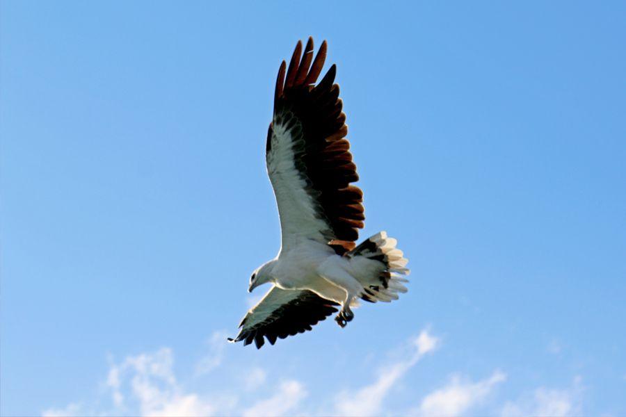 eagle, whitsundays