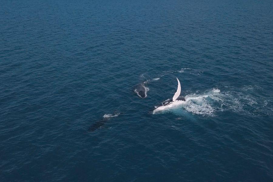 Whale Migration Whitsundays