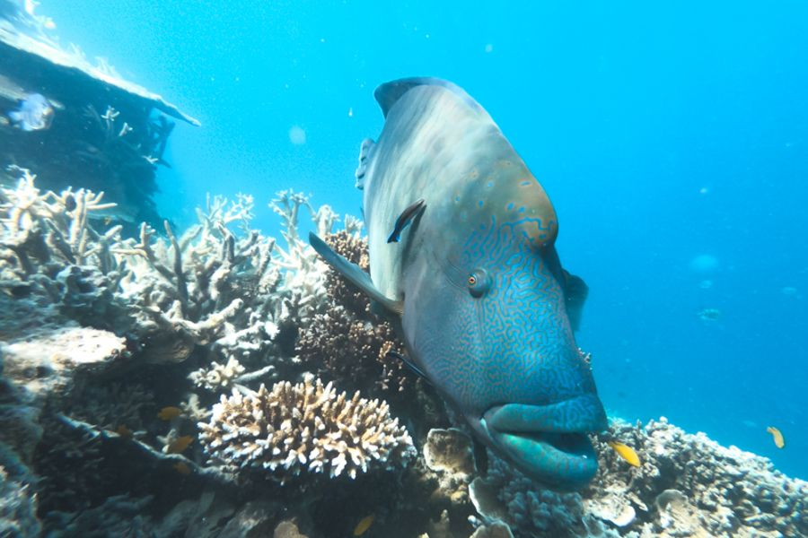 Meet George The Maori Wrasse