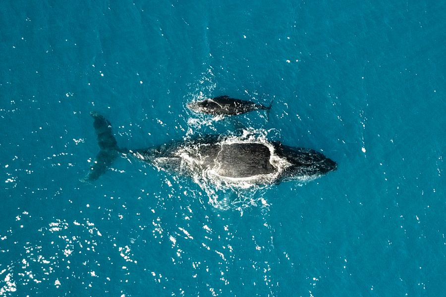 Whale Family Whitsundays