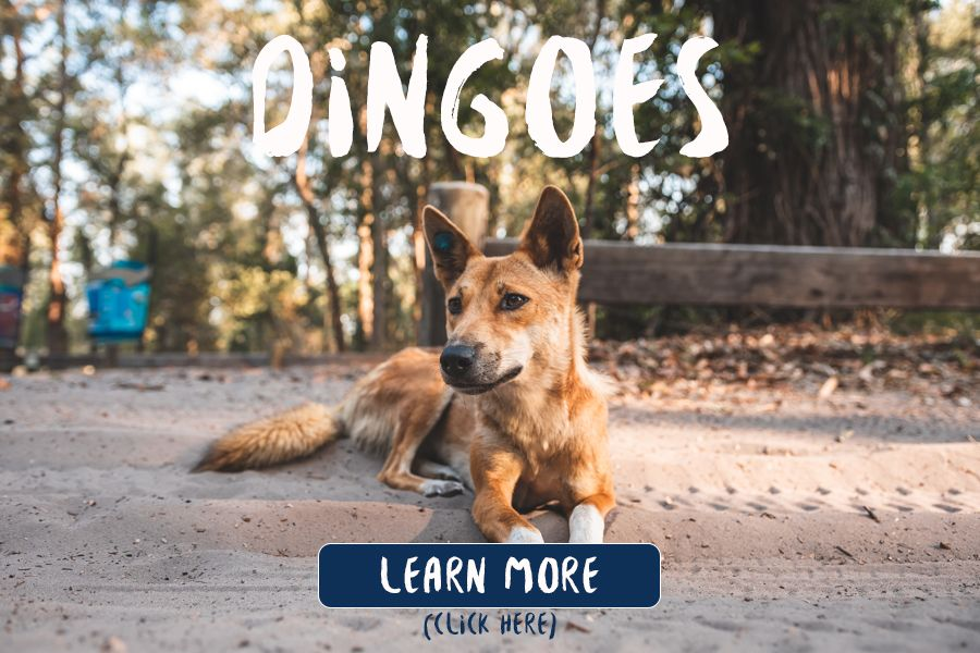Dingoes of Fraser Island