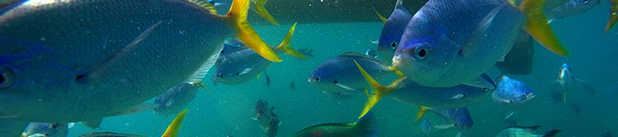 Tropical fish in the Great Barrier Reef, snorkelling in the Whitsundays