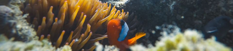 Clownfish in the Whitsundays