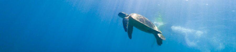 turtle, snorkelling, great barrier reef