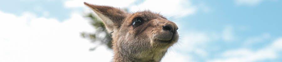 kangaroo,