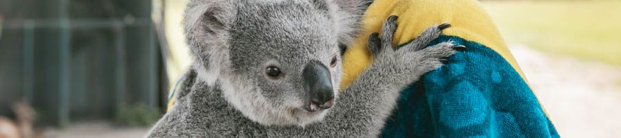 koala, airlie beach
