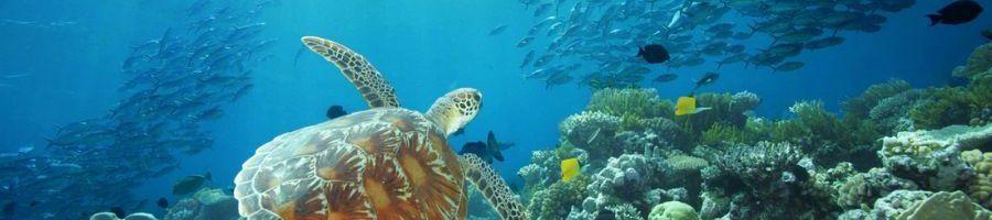 Green Sea Turtle, Great Barrier Reef Snorkel